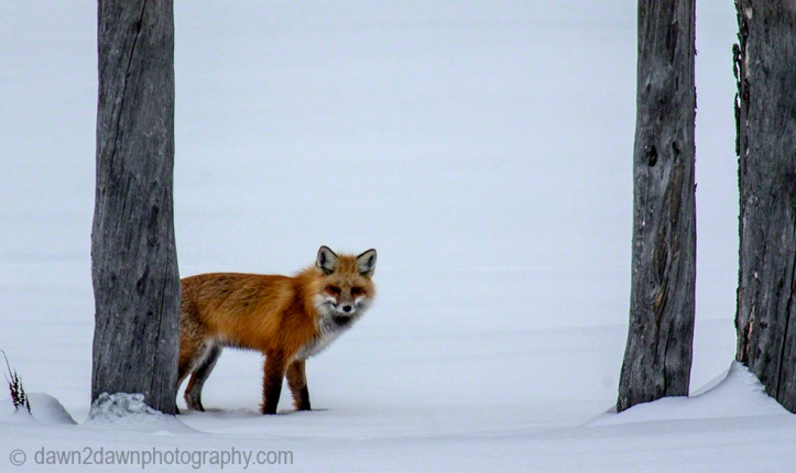 Yellowstone Red Fox