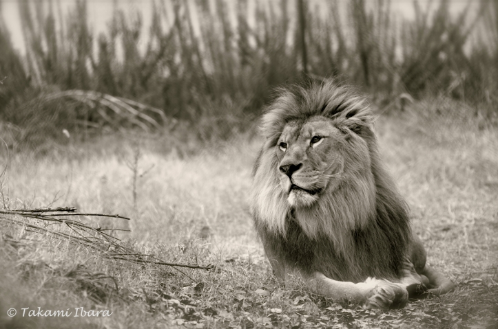 20160210-tibaraphoto-savanna-daydream-2