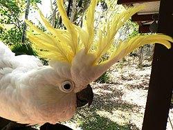 sulphur-crested-cockatoo-crest