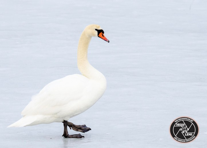 mute-swan-on-ice1.jpg