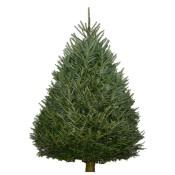 fraser-fir-tree