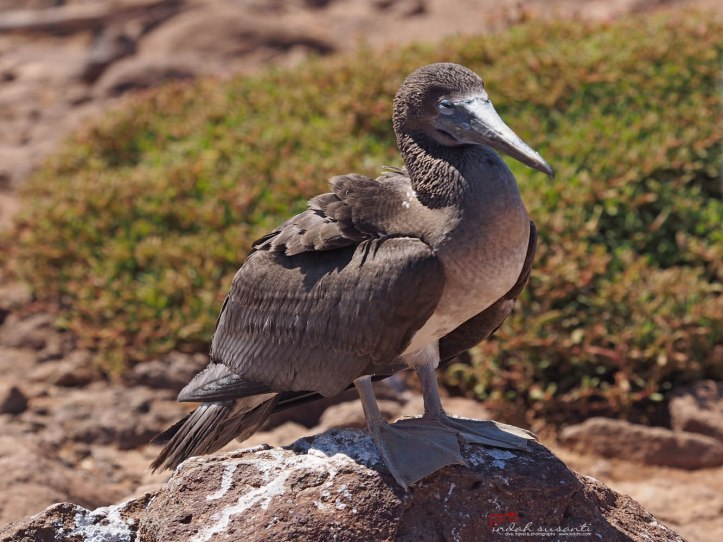 Blue-footed booby (the young one)