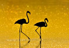 http://animalia-life.club/other/yellow-flamingos.html
