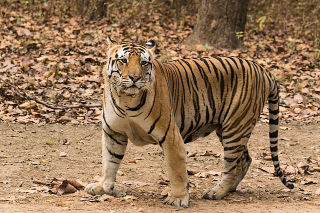640px-Royal_Bengal_Tiger_at_Kanha_National_Park