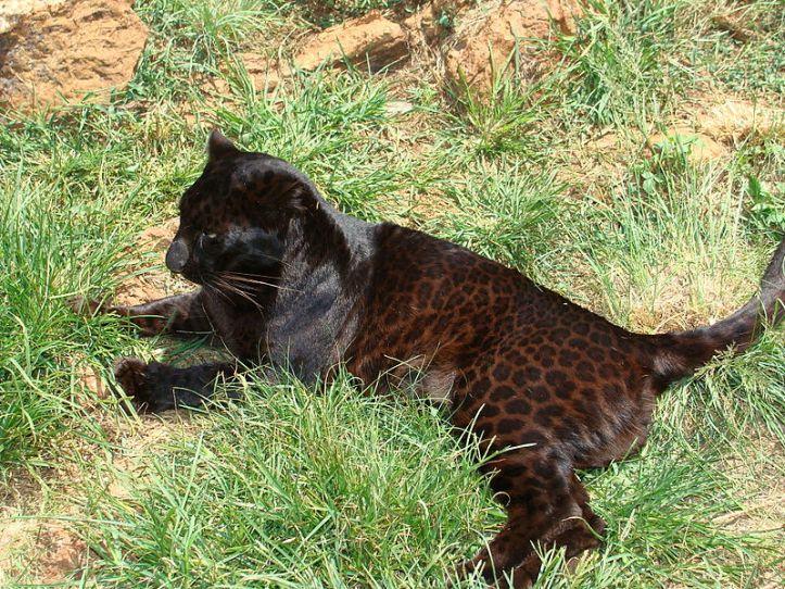 800px-Black_leopard