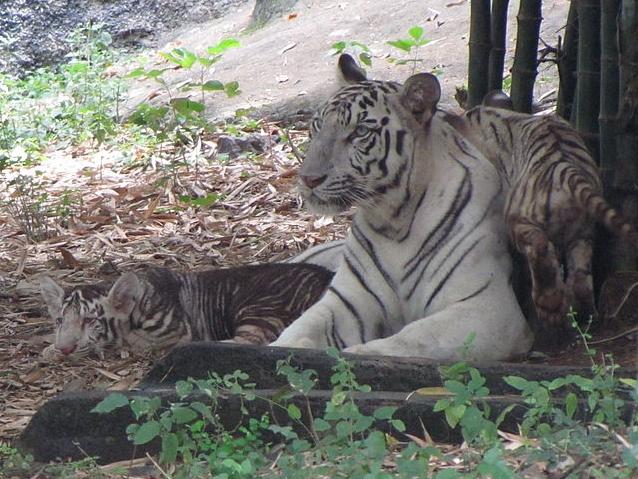 Black_Tiger_2010_1