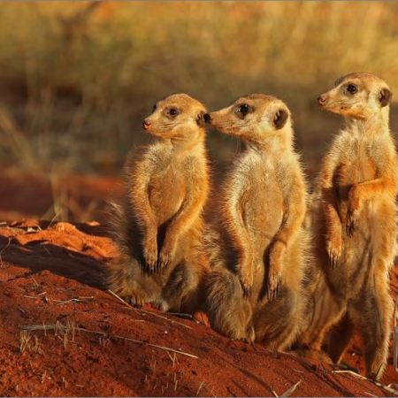 Meerkats in a family group - illustration
