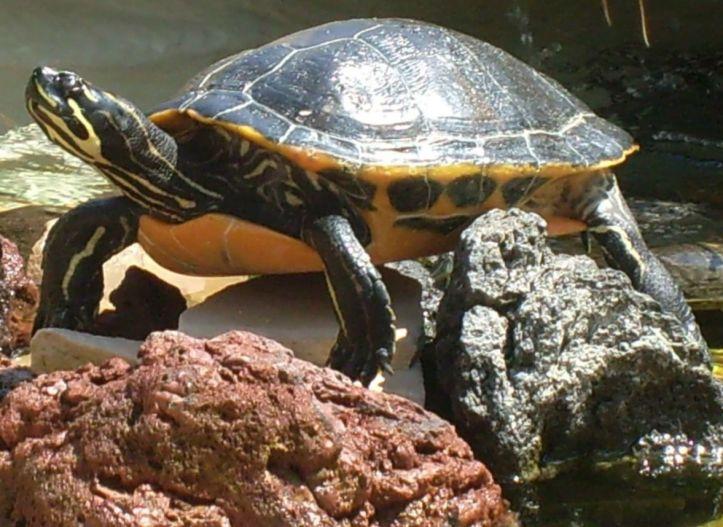 Aquatic Turtle picture taken at Sea World, San Diego, California, USA