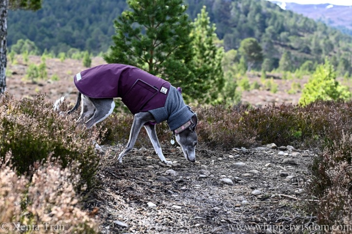 a blue and white whippet in fleece jacket on a mountain trail