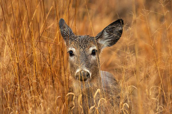 About the white tailed deer